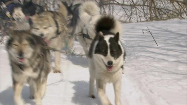Dog Sleighs Dashing Through The Forest