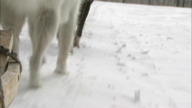 Dog Sleighs Dashing Through The Snowfield