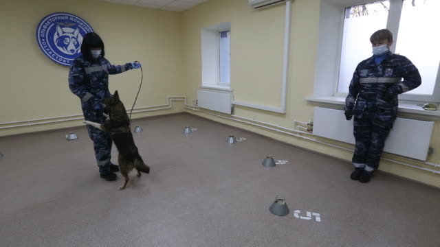 dog sniffing samples during explosive material and covid-19 detection training at the aeroflot pjsc canine training facility at sheremetyevo... - explosive material stock videos & royalty-free footage