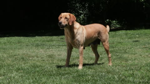 dog standing, wagging tail - shaking stock videos & royalty-free footage