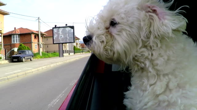 dog sticking head out of a moving car - bichon frise stock videos and b-roll footage