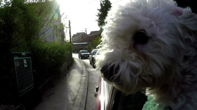 dog sticking head out of a moving car