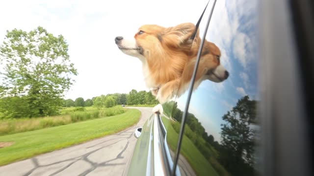 Dog sticking head out the window
