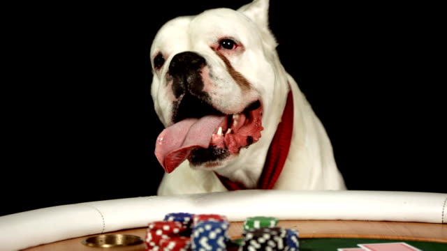 hd dolly: dog sticking tongue out while playing poker - boxer dog stock videos and b-roll footage