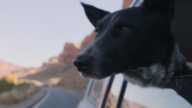 vídeos y material grabado en eventos de stock de cu. dog sticks head out car window and looks around on scenic utah road trip. - escena no urbana
