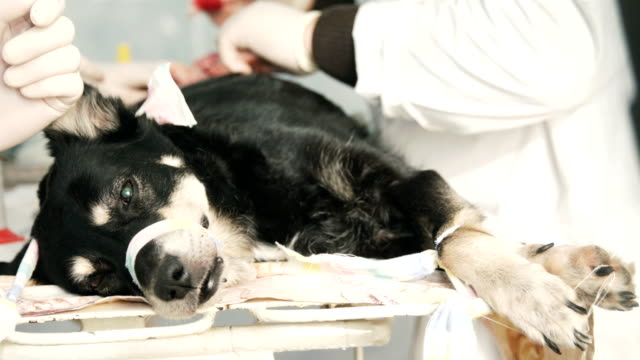 Dog surgery. All phases of ovary removal