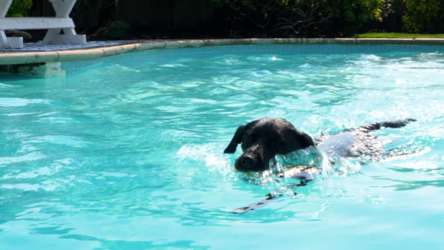 CU Dog swimming in backyard pool while chasing toy