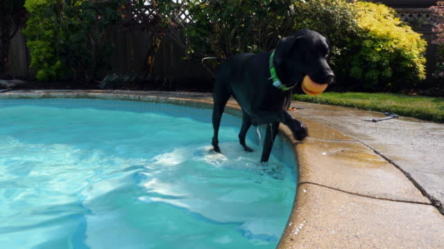 TS Dog swimming in backyard pool with toy in mouth on summer afternoon