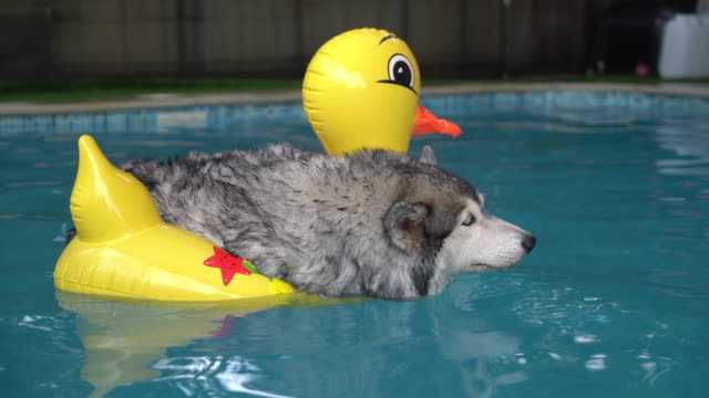 dog swimming in pool - malamute stock videos and b-roll footage