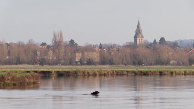 a dog swims in the river thames - oxfordshire stock videos & royalty-free footage