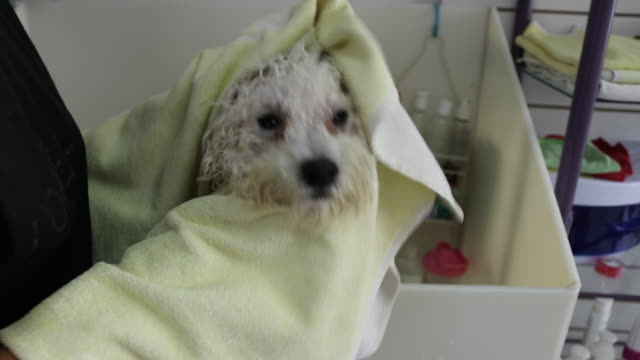 dog taking a shower with shampoo and water in grooming saloon - bichon frise stock videos and b-roll footage