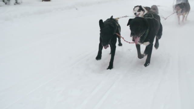 dog team pulling a sled - sled dog stock videos & royalty-free footage