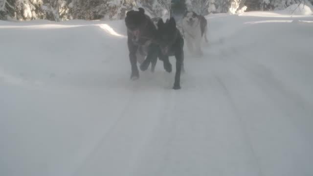 Dog team pulling a sleigh through snow