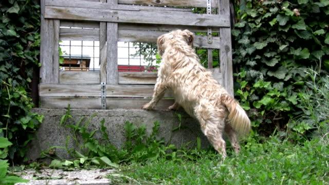 HD: Cão