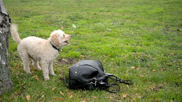 dog - handbag stock videos & royalty-free footage
