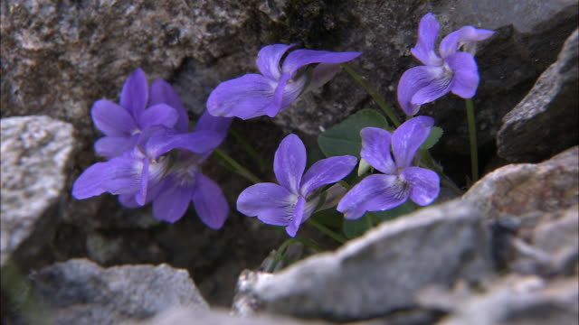 Dog violets (Viola riviniana) on mountain side, Snowdonia, Wales