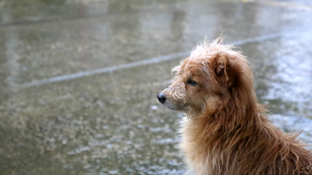 dog waiting the raining stop - pioggia video stock e b–roll