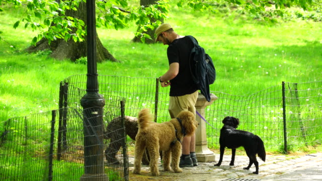 a dog walker gives the water to dogs at central park new york in spring. - fence stock videos & royalty-free footage