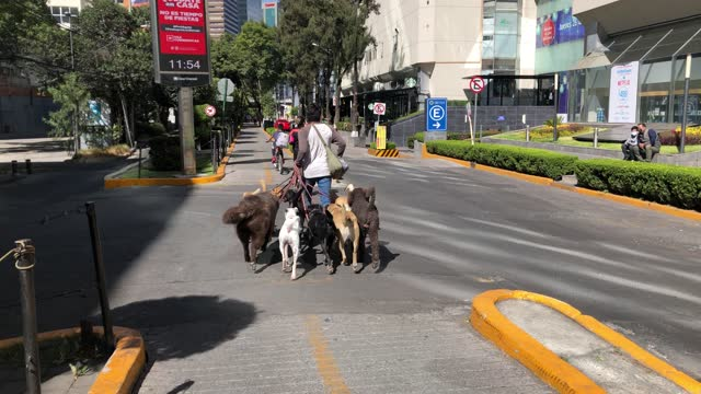 """dog walker passes in the neighbourhood of """"lomas de chapultepec"""" december 31 in mexico city, mexico. mexico city is suspending non-essential... - professional occupation stock videos & royalty-free footage"""