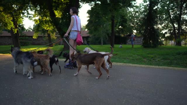 dog walker riding roller skates, walking dogs at public park - dog walking stock videos & royalty-free footage