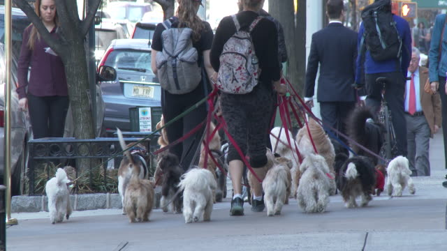 dog walkers on park ave.- upper east side, manhattan - pure bred dog stock videos and b-roll footage