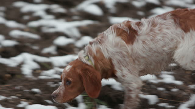 dog walking across field and sniffing around - dog walking stock videos & royalty-free footage