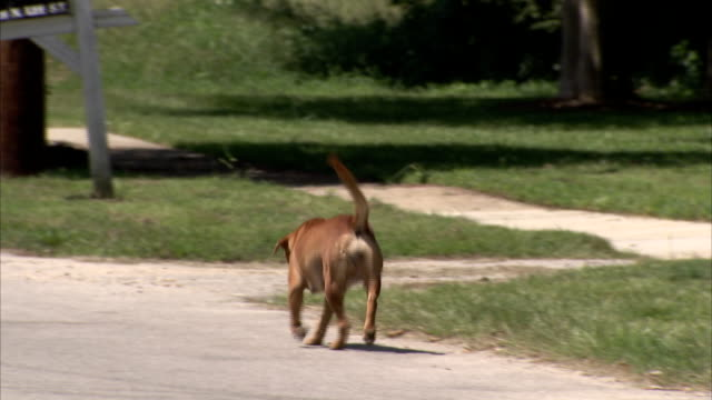 A dog walks along a neighborhood sidewalk. Available in HD.