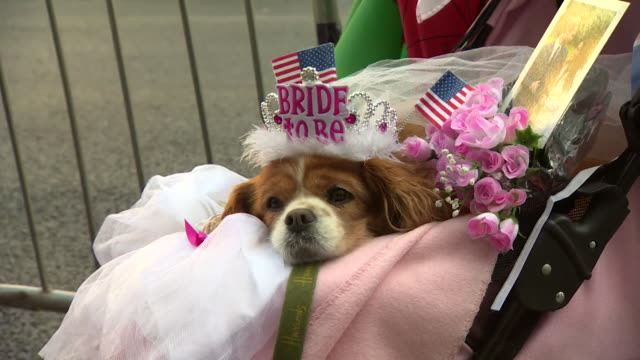 a dog wearing a 'bride to be' tiara prior to the wedding of prince harry and meghan markle - prince harry stock videos and b-roll footage