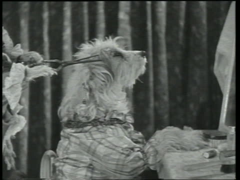 b/w 1930 dog wearing clothes getting hair trimmed by other dog / dogway melody - schere stock-videos und b-roll-filmmaterial
