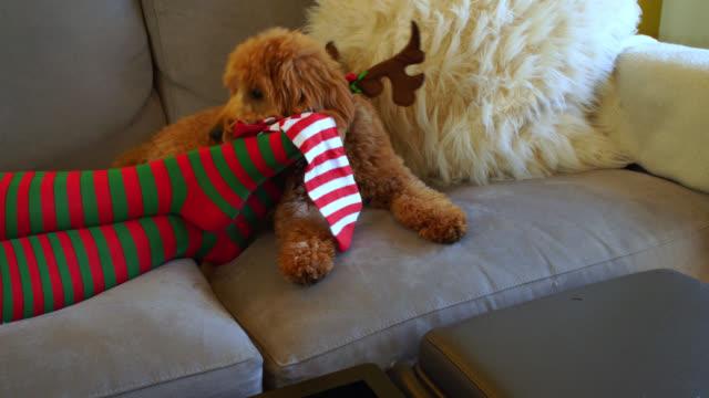 dog wearing reindeer antlers eats christmas socks - antler stock videos & royalty-free footage