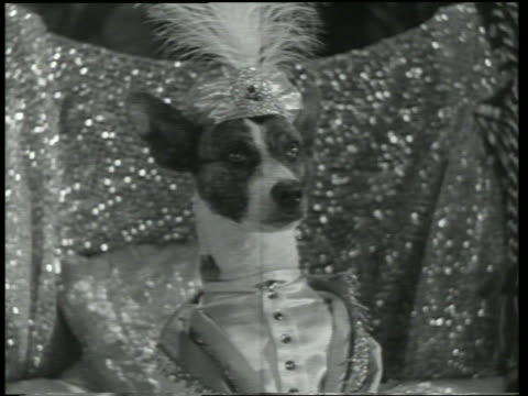 vidéos et rushes de b/w 1930 dog wearing turban / dogway melody - richesse