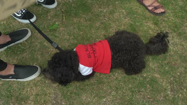a dog wears a tshirt with a message of support at a black lives matter peaceful protest in newington green on june 13 2020 in london england black... - t shirt stock videos & royalty-free footage