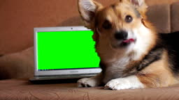 Dog Welsh Corgi Pembroke in eyeglasses lies next to the laptop. chroma key.