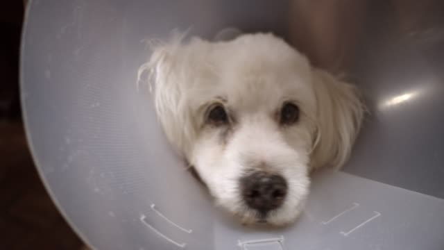 dog with a cone - medical dressing stock videos & royalty-free footage