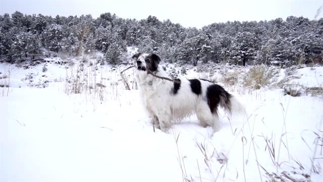 stockvideo's en b-roll-footage met hond met stok spelen buitenshuis - australische herder