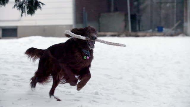 dog with stick runs in the snow - portare video stock e b–roll