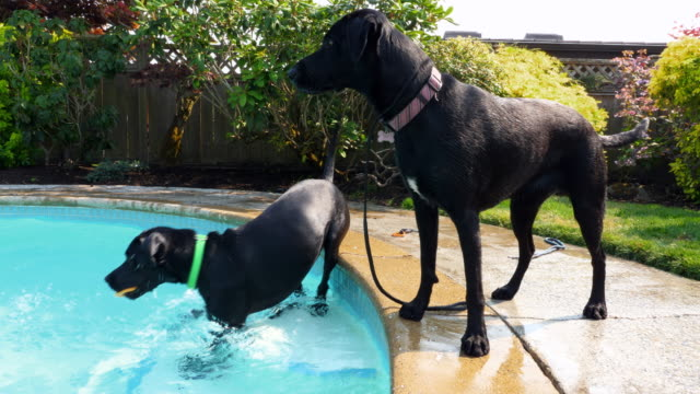 stockvideo's en b-roll-footage met ms dog with toy in mouth standing beside backyard pool after swimming on summer afternoon - verfrissing
