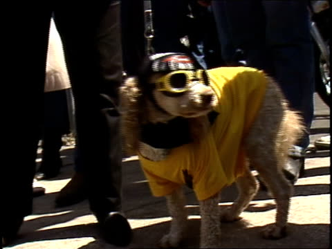dog with yellow biker goggles harley davidson bandana and shirt - skibrille stock-videos und b-roll-filmmaterial