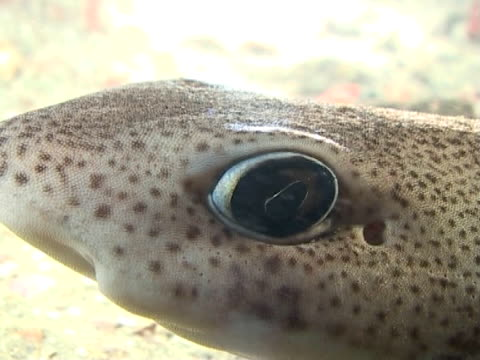 stockvideo's en b-roll-footage met dogfish at night,  dog fish resting on seabed then swims away,  cu to ws - doornhaai