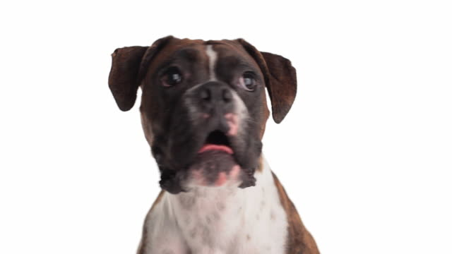 doggie didn't do it - boxer dog stock videos and b-roll footage