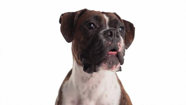 vídeos y material grabado en eventos de stock de perros cierto reconocimiento de su jefe - animal head