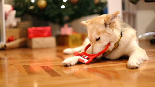 dogs and christmas presents - gift stock videos and b-roll footage
