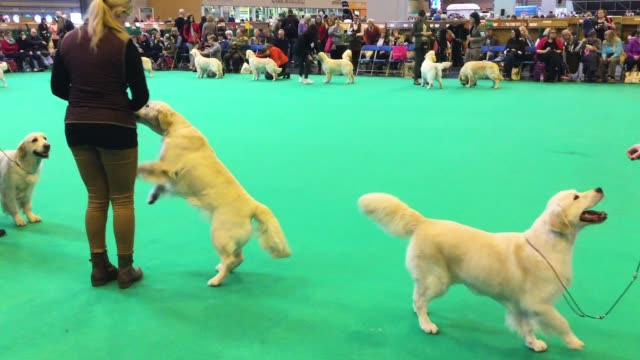 dogs are judged on the third day of the crufts dog show at the nec arena on march 11 2017 in birmingham england first held in 1891 crufts is said to... - crufts hundezuchtschau stock-videos und b-roll-filmmaterial