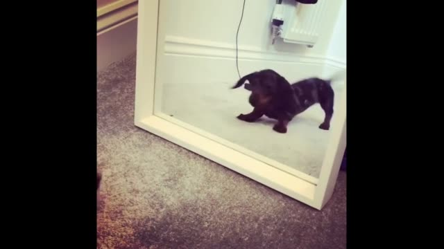 vidéos et rushes de dogs are very intelligent and adaptable creatures that, like countless others, lack the cognitive development necessary to self-recognize visually,... - s'adapter