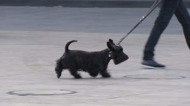 dogs are walked on leads on city paving - 犬の散歩点の映像素材/bロール