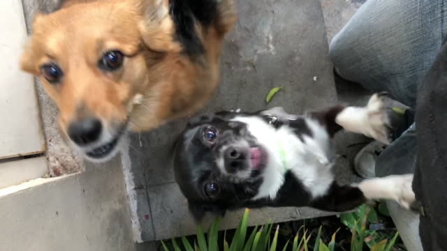 Dogs barking to owner
