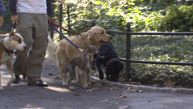 Dogs being walked in park, New York City, USA