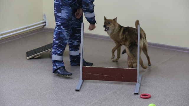 dogs during explosive material and covid-19 detection training at the aeroflot pjsc canine training facility and detection patrol by check-in... - explosive material stock videos & royalty-free footage