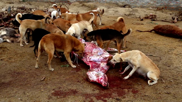 dogs eating dead animal - ugliness stock videos and b-roll footage