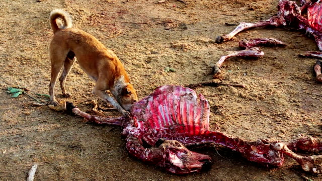dogs eating dead animal - ugliness stock videos & royalty-free footage